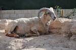 Μίνι Πρόβατο